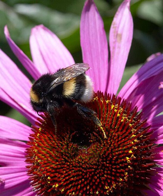 Bumble Bee on a Coneflower Echinacea plant