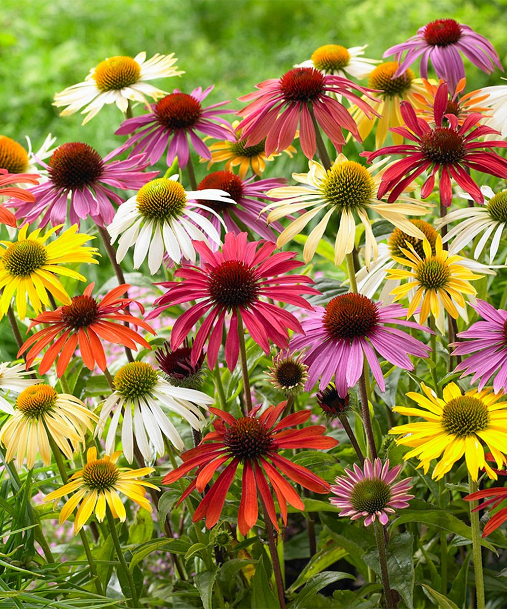 Colorful Cone Flower Echinaceas