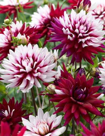 Pink Dahlia Flowers