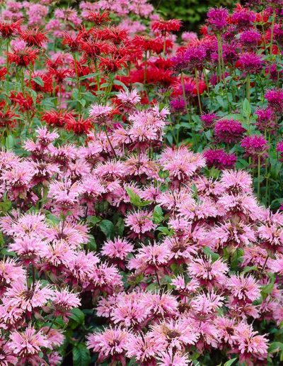 Perennial plant of the year 21 Pink Monarda